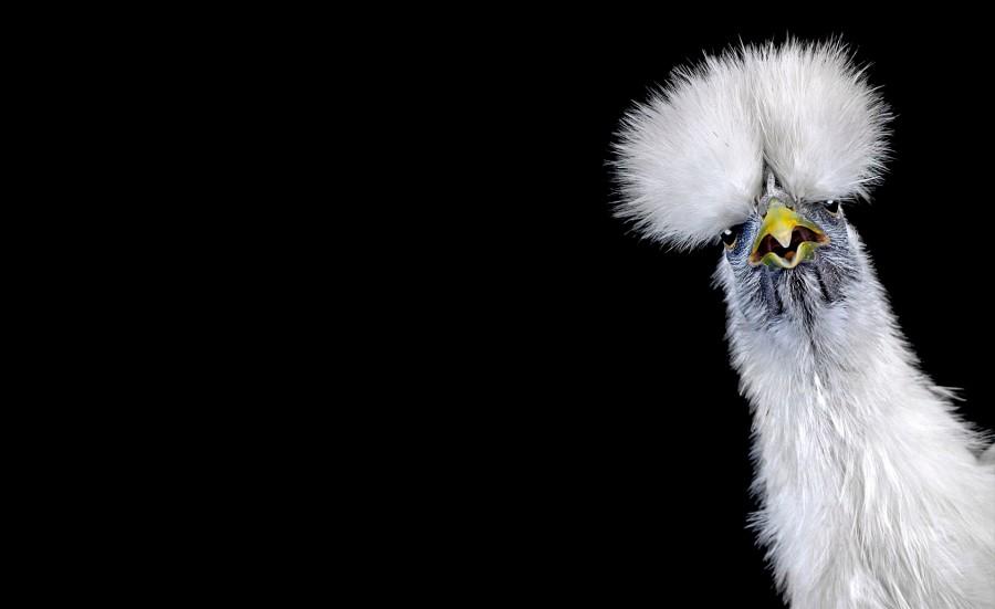 Ernest Goh animal photography chicken