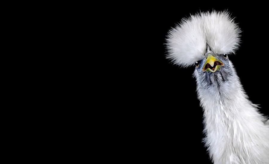 Ernest Goh animal photography chicken