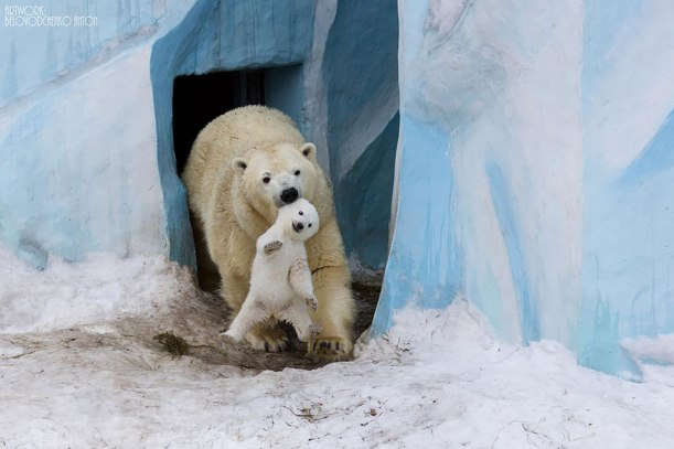 Polar bear mother and cub in enclosure by Anton Belovodchenko