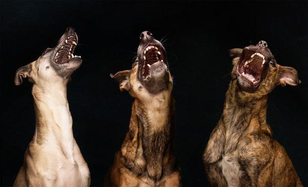 galgo espanol mix dog portraits by Elke Vogelsang