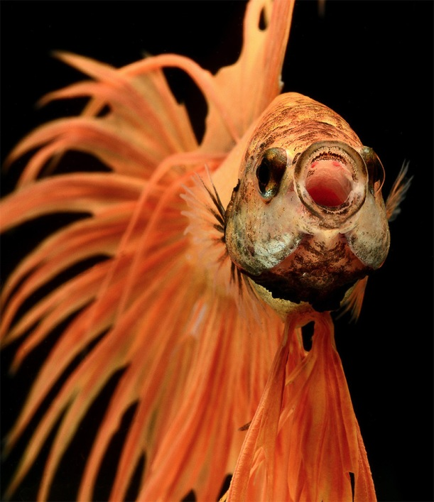 betta fish nature photography by Visarute Angkatavanich