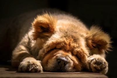 Teddy the Chow Chow by Tom Klausz