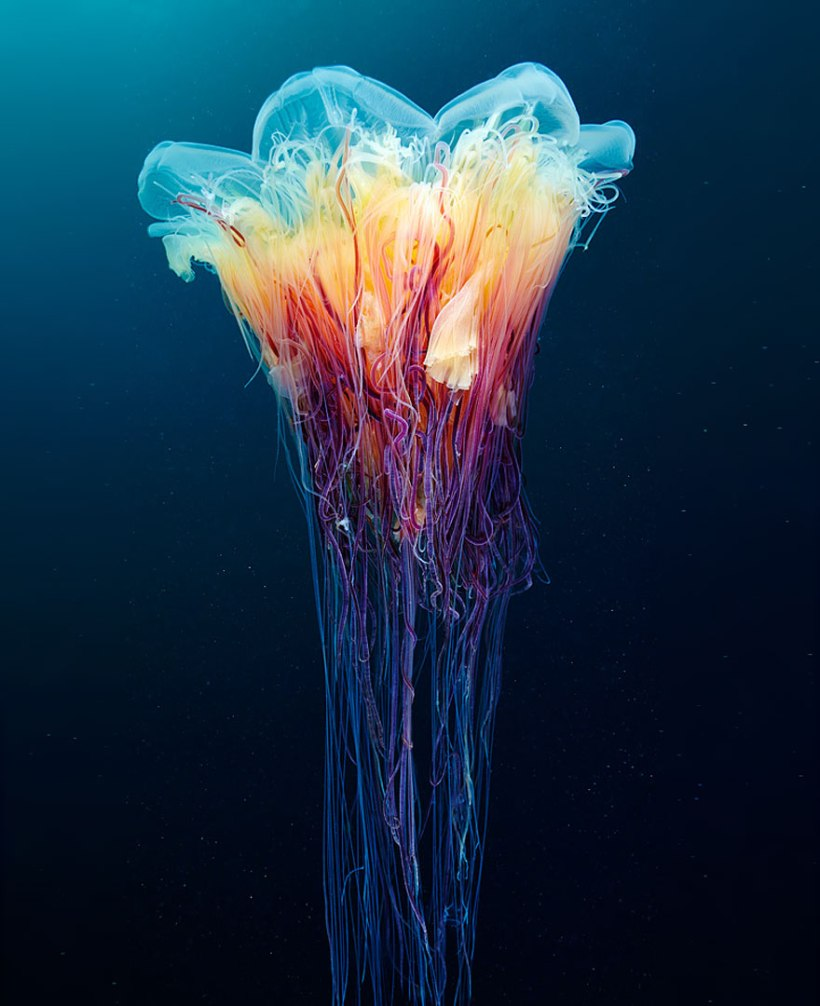 jellyfish by Alexander Semenov