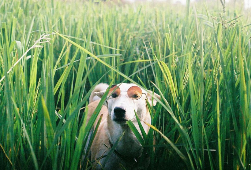 Gluta the dog wearing sunglasses by Sorasart Wisetsin