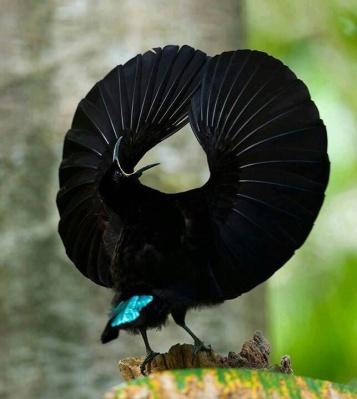Victoria's Rifelbird Ptiloris victoriae