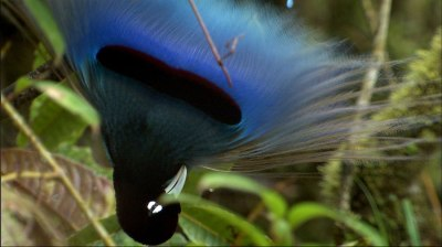 Blue Bird-of-Paradise Paradisaea rudolphi