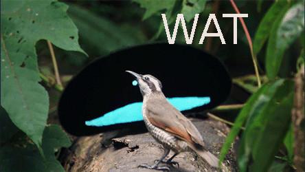Superb Bird-of-Paradise Lophorina superba mating dance