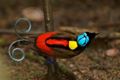 Wilson's Bird-of-Paradise Cicinnurus respublica