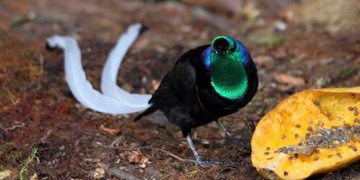 Ribbon-Tailed Astrapia mayeri