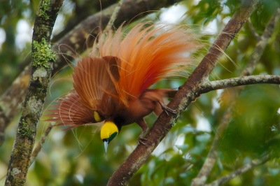 Goldie's Bird-of-Paradise Paradisaea decora