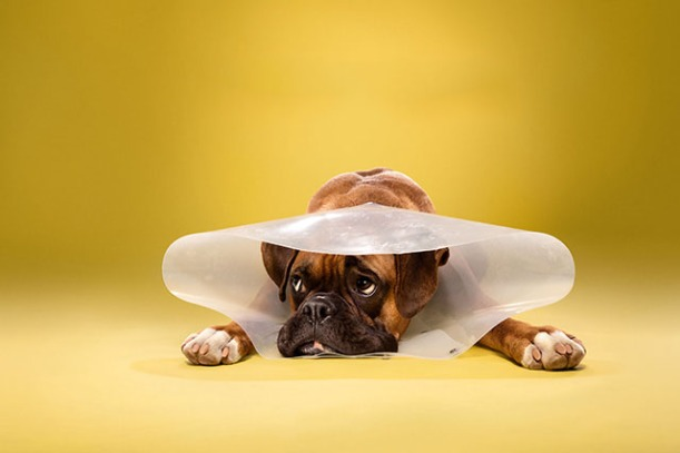 boxer dog in cone of shame by Ty Foster