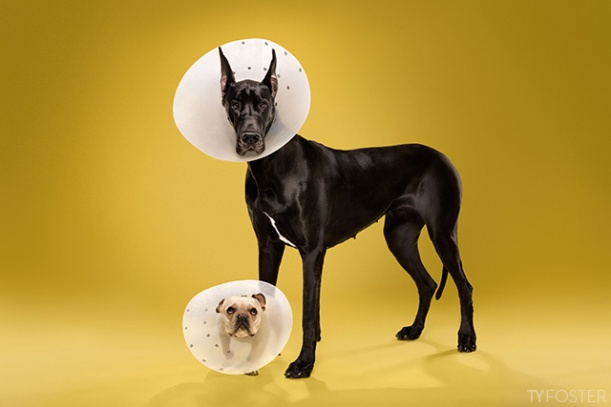 great dane and pug dog in cone of shame by Ty Foster