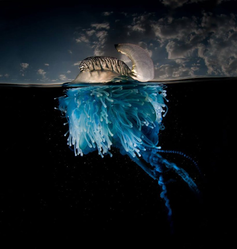 bluebottle Portuguese man of War Matty Smith o'war