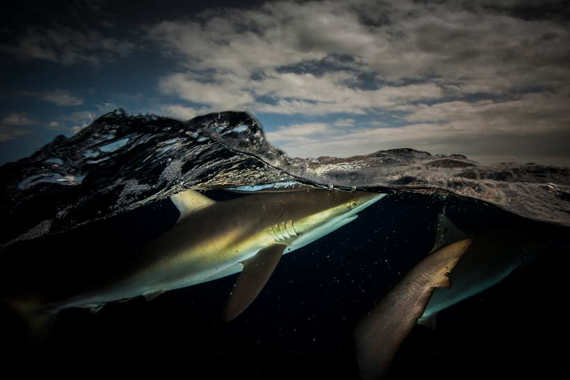 silky shark requiem Carcharhinidae Matty Smith