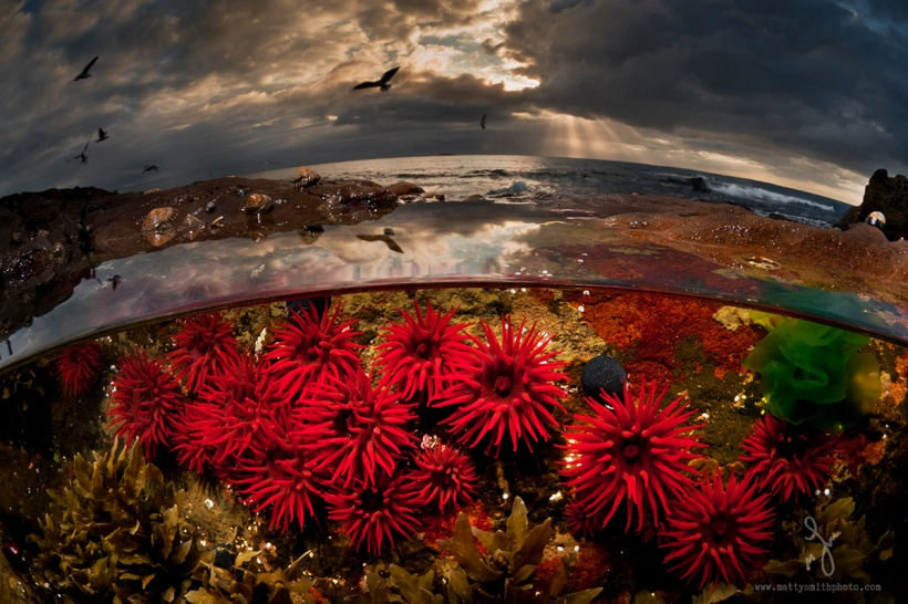 waratah anemones Matty Smith