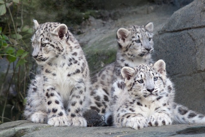 Snow leopard cubs by WWF