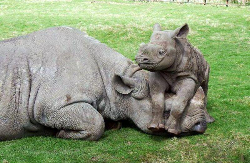 African Rhino mother and baby