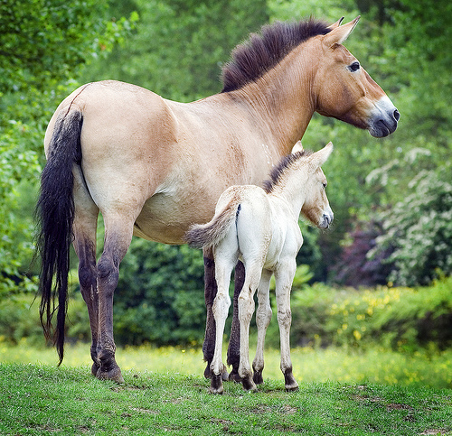 Przewalski's Horse mother and foal