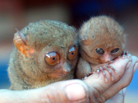 Tarsier mother and baby