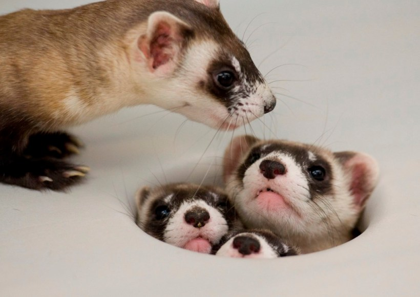 Black-Footed Ferret family