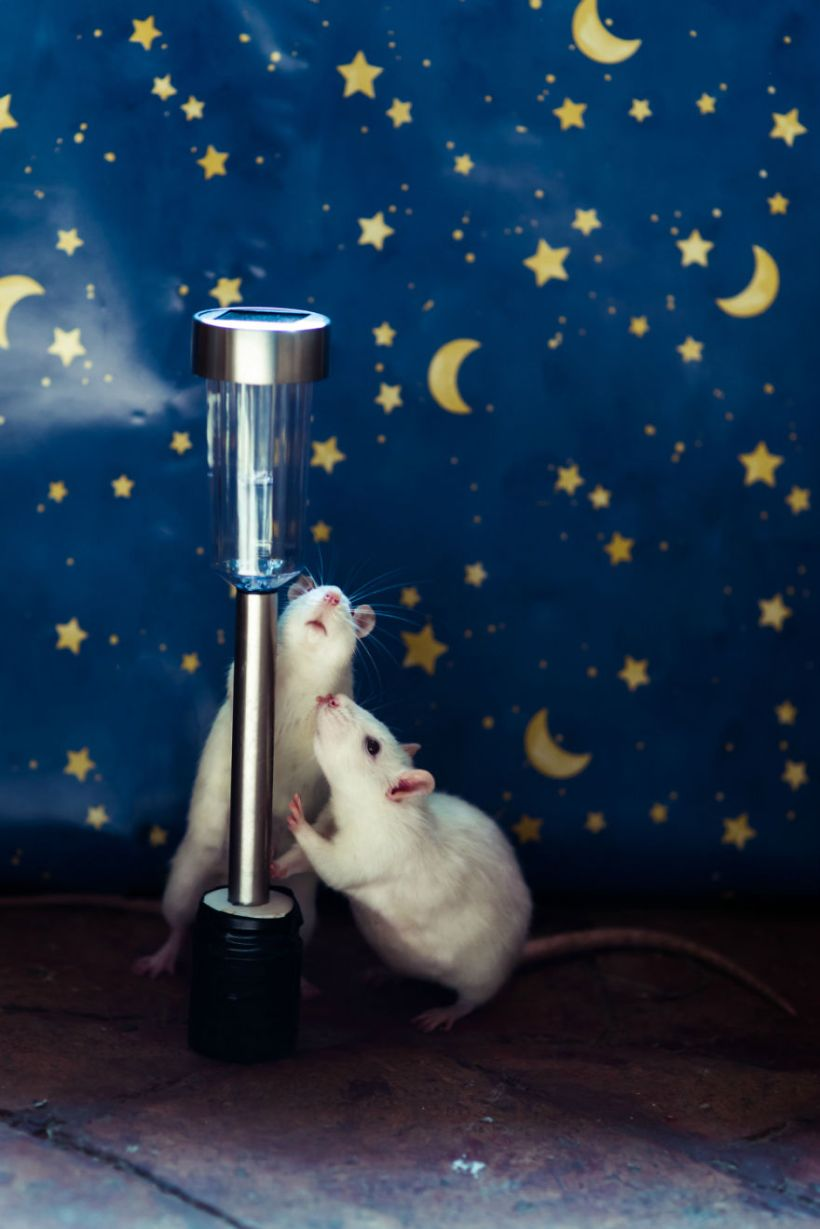 rats 7