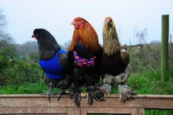 Jumper wearing chickens. Pic by Toby Weller. Ref: TRTW20151118A-004_C
