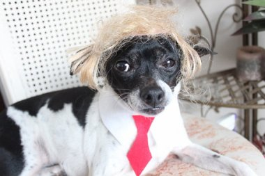 Trump wig for dog or cat. By lenapavia