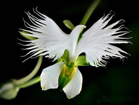 White Egret flower orchid– Plectelis (Habenaria) radiata