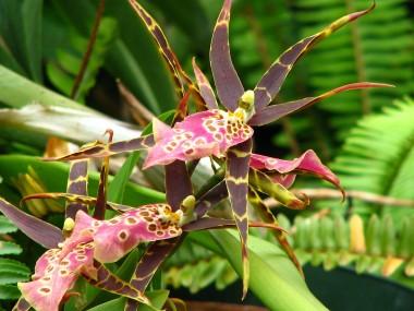 Tolkein orchid - Miltassia Shelob