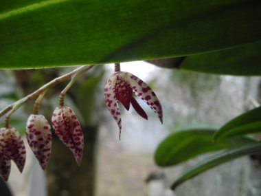 Hanging Miniature Orchid - Pleurothallis restreptiodes