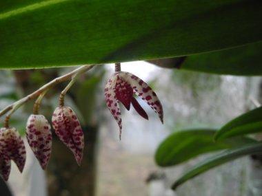 Hanging Miniature Orchid - Pleurothallis restreptiodes