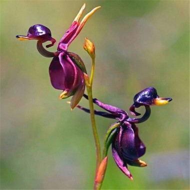 Flying duck orchid - caleana major