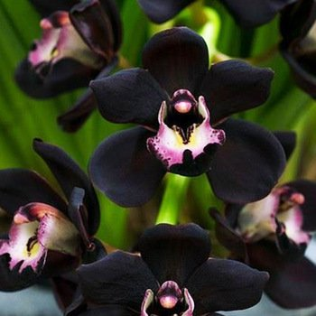 Black Cymbidium Faber