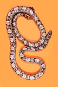 snake 8