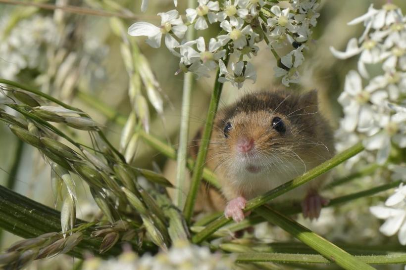 """Monitoring Harvest Mice,"" by Nick Upton"