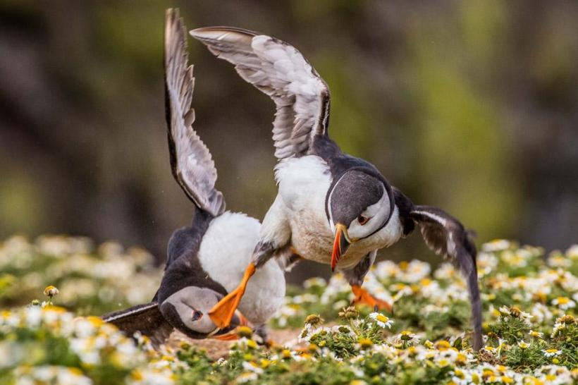 """Kung Fu Puffin,"" Skomer Island, Pembrokeshire, Wales, by Rebecca Bunce (Age 18)"