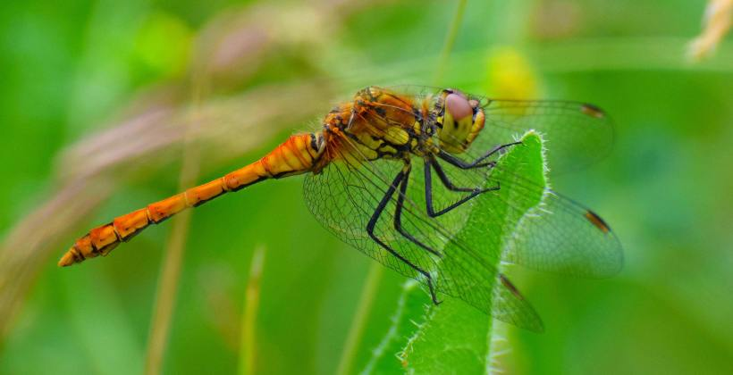 """Resting Common Darter,"" Elmley National Nature Reserve, Isle of Sheppey, Kent, England, by Magnus McLeod (Age 11)"