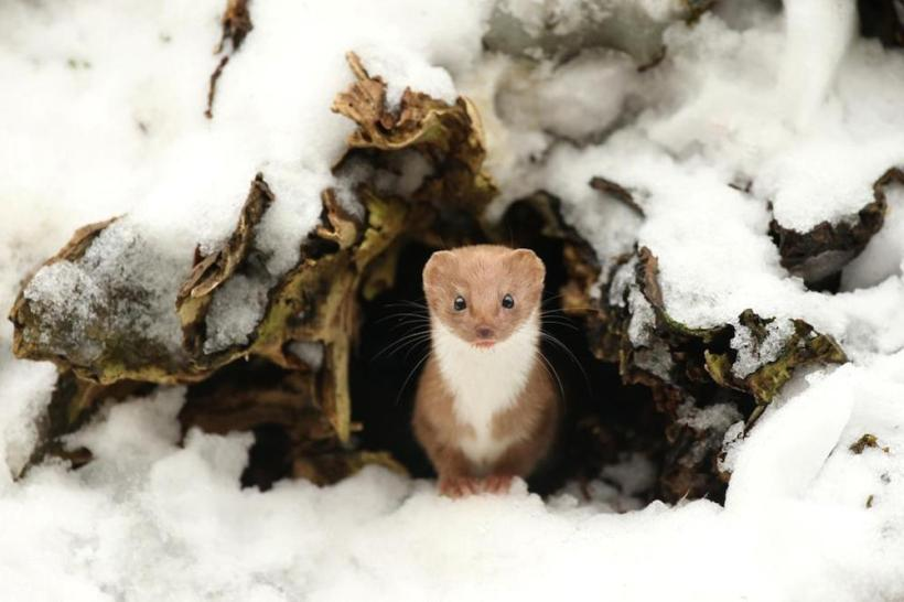 Common Weasel (Pic 1), North Yorkshire, England, by Robert E Fuller