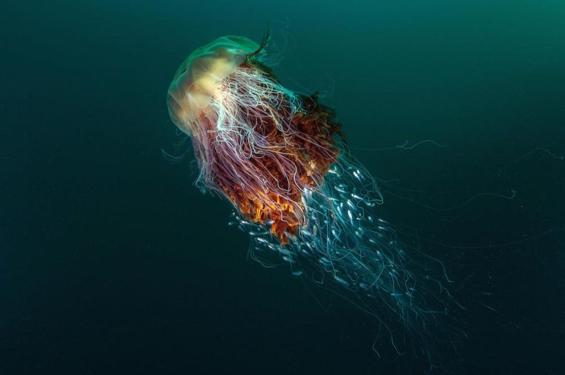 """Hitchhikers"" (Lion's Mane Jellyfish), St Kilda, off the Island of Hirta, Scotland, by George Stoyle"