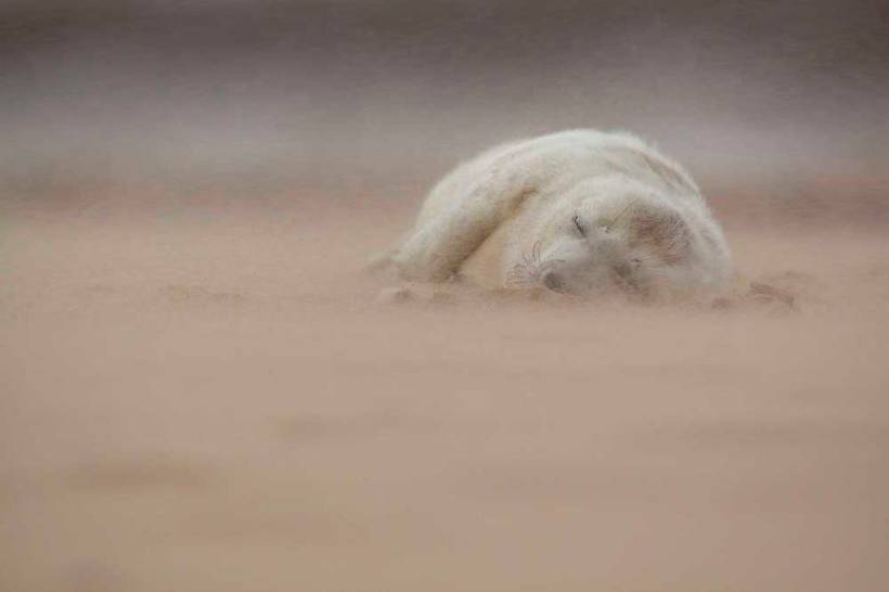 """Grey Seal Pup in a Sandstorm,"" Norfolk, England, by Jamie Hall"
