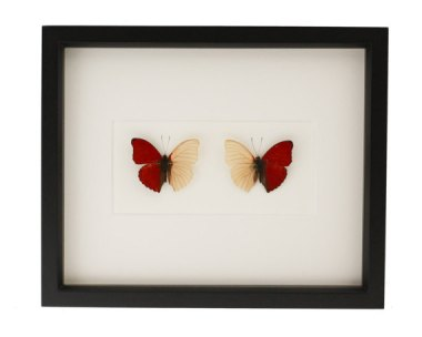 What a lovely idea! I love mounted butterflies, and this pair is the perfect Valentine's Day gift without going too far into cutesy. By BugUnderGlass