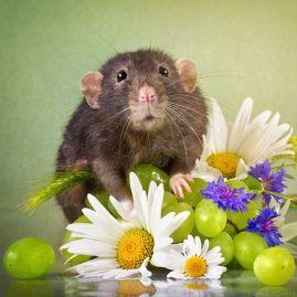 rat 12