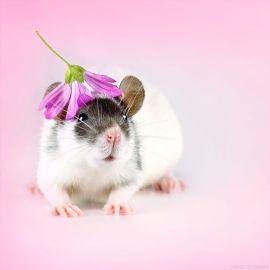 rat 3a