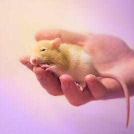 rat 7