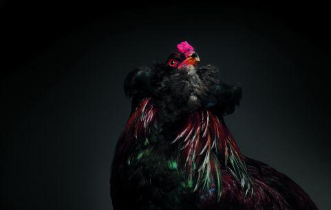 chick 3a2