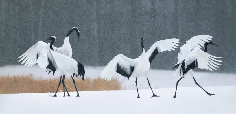 Red Crown Dancing Cranes