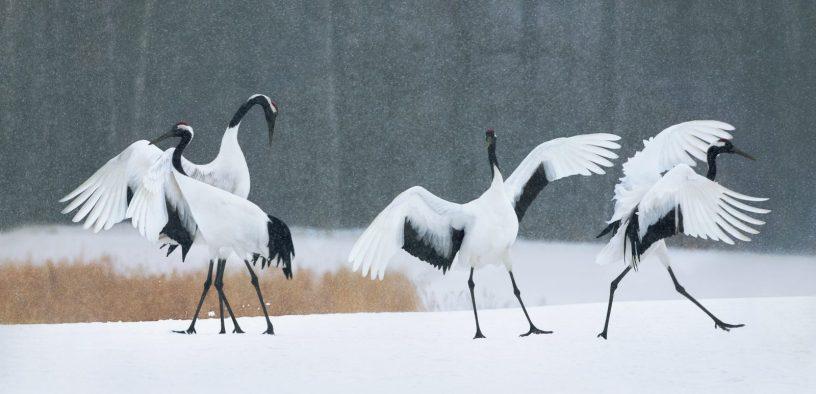Red Crown Dancing Cranes