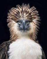 Phillippines Eagle