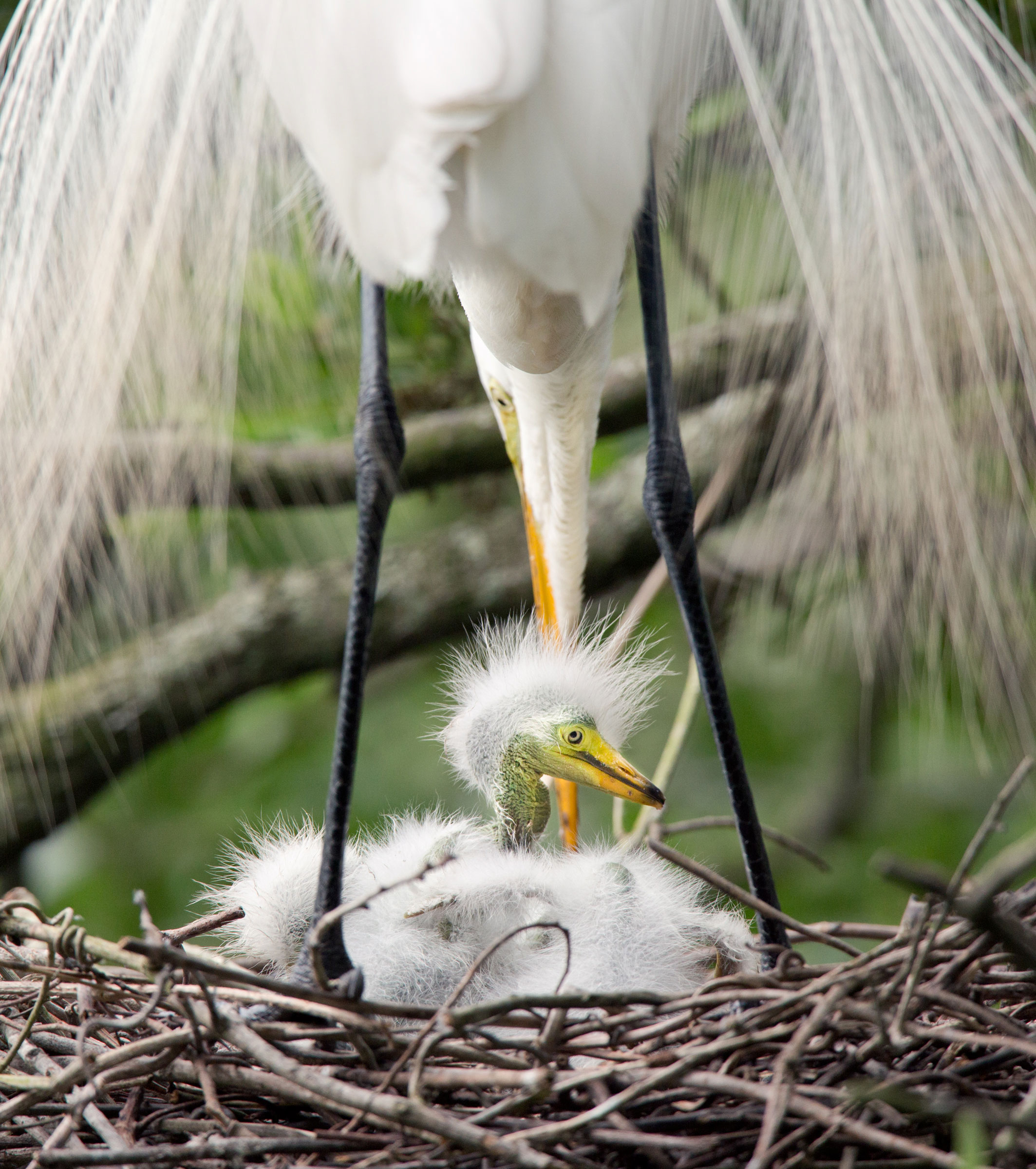 "Great Egret ""SYMETRIC"""